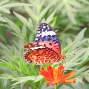 キバナコスモスに蝶々