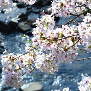 虚空蔵山を遠景に、パン工房横川沿いの桜満開