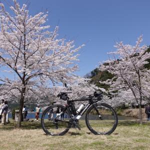 3年ぶり、桜の時期にビワイチ!