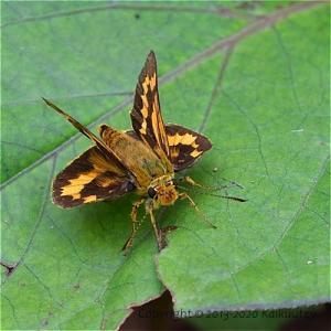 セセリチョウ的開翅