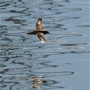 イソシギ水面を飛ぶ