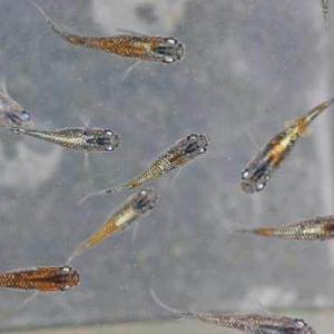 オーロラ黄ラメ体外光若魚