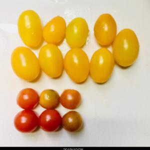 【今年最後の】ミニトマト【収穫】