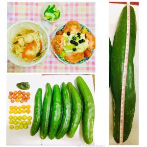 【今日の】巨大キュウリ、ミニトマト、ピーマン【収穫】