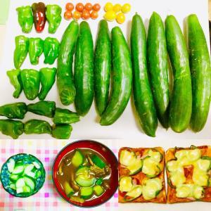 【今日の】ピーマン、キュウリ、ミニトマト【収穫】