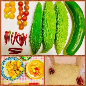 【今日の】唐辛子、ゴーヤ、キュウリ、ミニトマト【収穫】