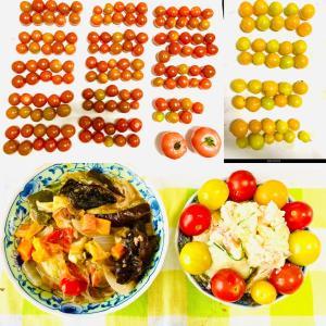 【今日の】大量のミニトマト【収穫】