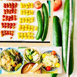 【今日の】ミニトマト、巨大キュウリ、トマト【収穫】