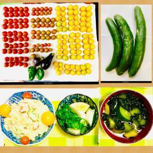 【今日の】ミニトマト166個、キュウリ、ミニサイズのナスとピーマン【収穫】