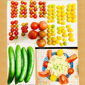 【今日の】トマト、ミニトマト、キュウリ【収穫】