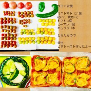 【今日の】ミニトマト121個、トマト、キュウリ、ピーマン【収穫】