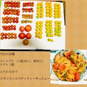 【今日の】ミニトマト146個【収穫】