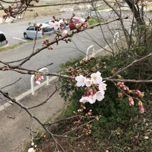 ニャンコたちと、桜の開花を見に・・