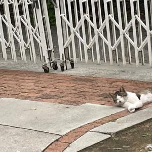 しつぽの短い お隣の猫ちゃん・・