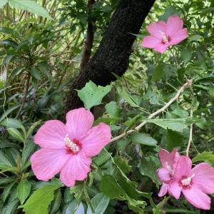 我が家の小さな庭:初めての花