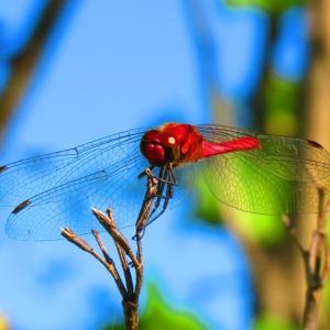 季節感 蜻蛉(とんぼ)。。。