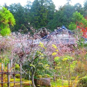 京都大原 実光院の不断桜 。。。