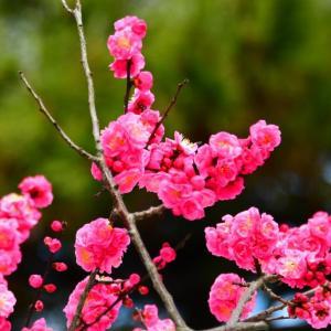 紅梅なんだけど 可愛いピンク色の梅の花。。。