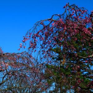 ひと足お先に開花の紅枝垂(ベニシダレザクラ)。。。