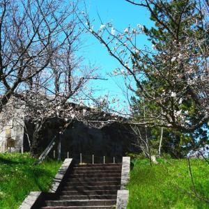 母校の天守台 桜は 3分咲き。。。