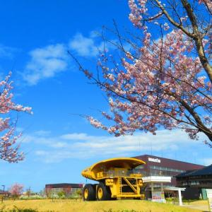 """""""小松乙女""""って 美味しい""""いちご""""ではなく 可愛い花びらの桜。。。"""