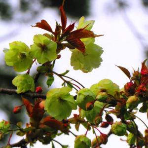 令和2年の想い出の黄色い桜(鬱金桜)。。。