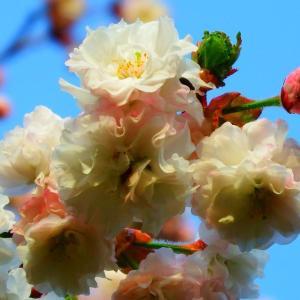 令和2年の想い出 やはり菊桜 (雛菊桜)。。。