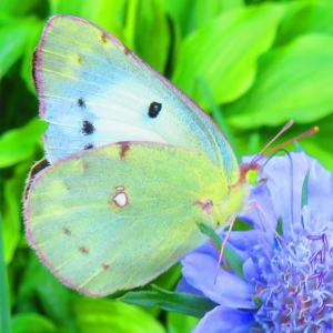 もんしろ蝶 もんき蝶が蜜を求めて。。。