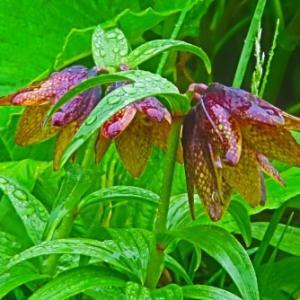 2020夏 白山高山植物。。。黒百合(クロユリ)。。。