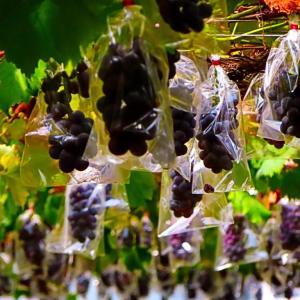 ぶどう園で ついでに大粒の葡萄(ぶどう) 。。。