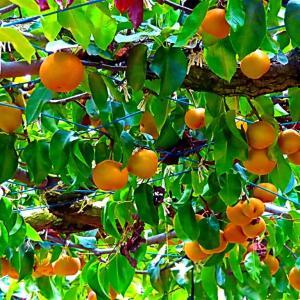 みずみずしい梨いっぱいの梨園。。。
