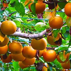 味覚の秋 まだまだ美味しい梨。。。