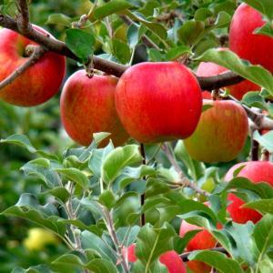 味覚の秋 りんご可愛いやな。。。