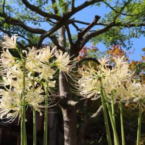 香林寺(金沢市)の彼岸花が 開花。。。