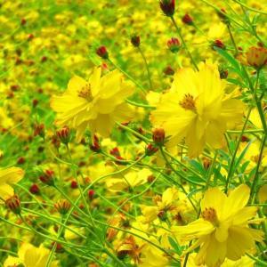 秋いっぱいの黄色のキバナコスモス。。。