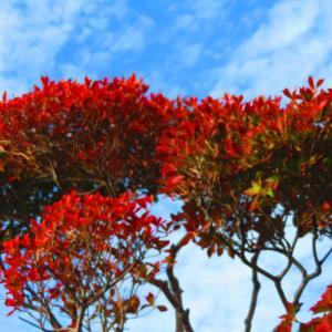 秋の青空 ドウダンツツジも秋らしく。。。