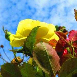 秋の青空 秋薔薇の開花。。。