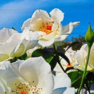 初冠雪にちなんで 秋の白い薔薇を...