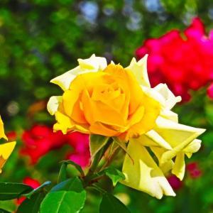 秋麗 黄色い薔薇。。。