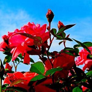 秋麗 紅い薔薇も。。。