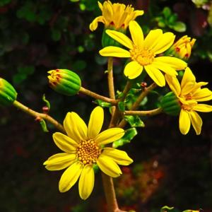 庭のツワブキの花が 咲き始めた。。。
