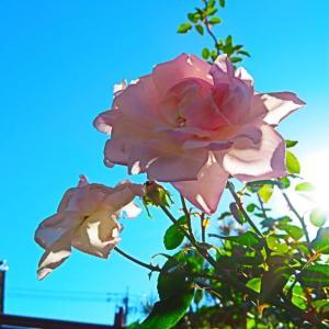 今年もお疲れ 庭の薔薇。。。