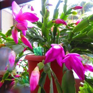 蝦蛄葉(しゃこば)サボテン開花はじめる。。。