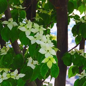 花のようで花でない ヤマボウシ。。。