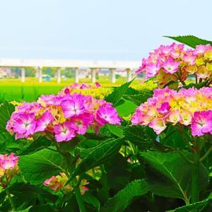 新幹線はまだだけど 紫陽花の向こうに新幹線が見える公園。。。