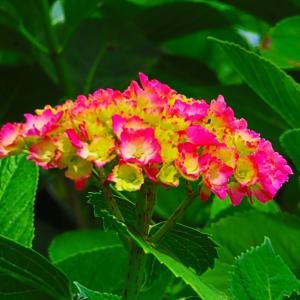 梅雨入り間近? あじさい寺の紫陽花は これから。。。