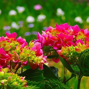 あじさい寺の紫陽花のみならず  あちこち紫陽花が。。。