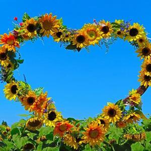 真夏日が続く ひまわり畑 うつむく花の姿に厳しさが。。。