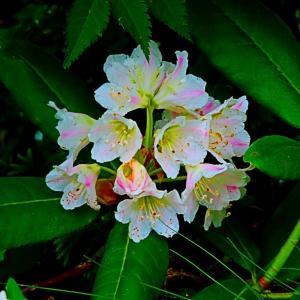 白山の高山植物。。。夏に時期にもシャクナゲにであう。。。