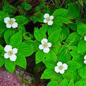 白山の高山植物。。。家紋を思い出させるゴゼンタチバナ。。。